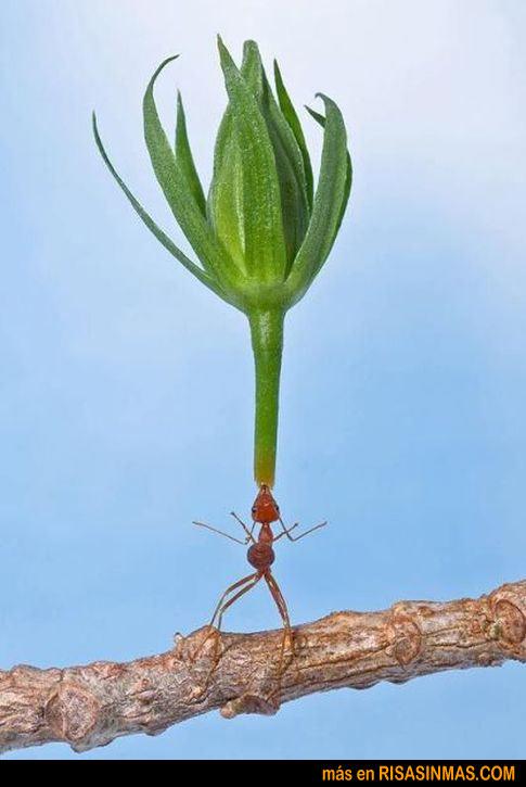 hormiga-malabarista