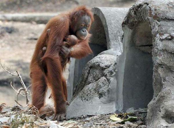 orangutan_-Tori