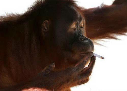 orangutan_-Tori2
