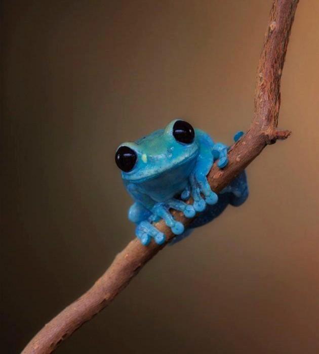 rana-azul-hola-630x700