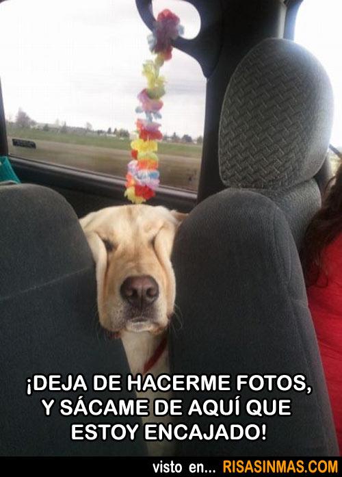 perro-encajado
