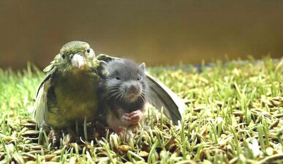 parrotmouse