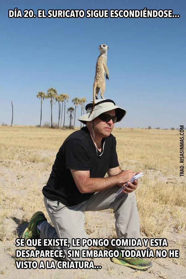 suricato-sigue-esdondiendose