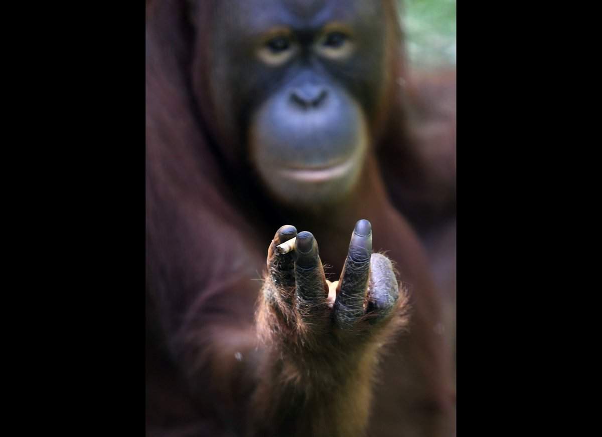 orangutan-fumador