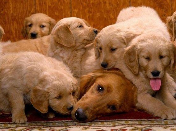 perritos-madre