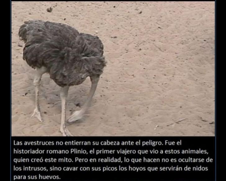 curiosidades-avestruz