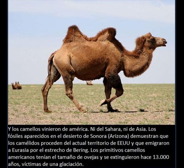 curiosidades-camello