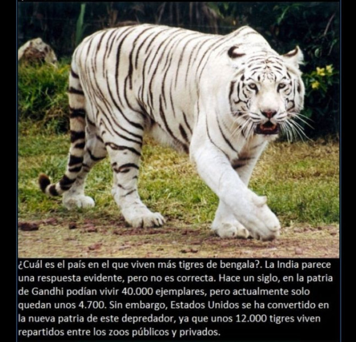 curiosidades-tigre
