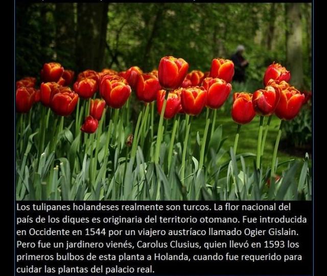 curiosidades-tulipanes