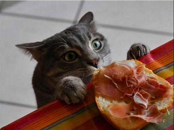 gato jamon