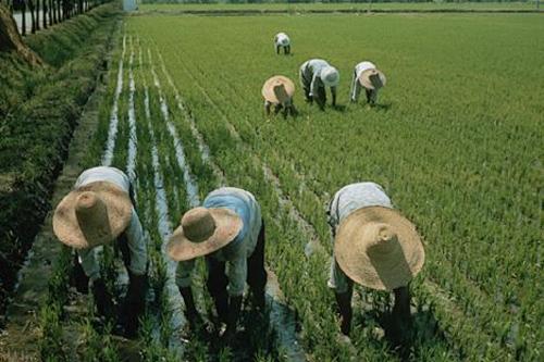 arrozales china