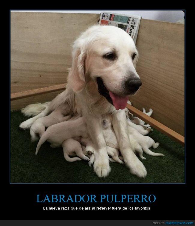 labrador_pulperro