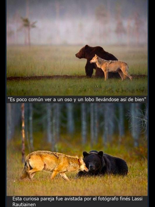 a b c oso-lobo 1