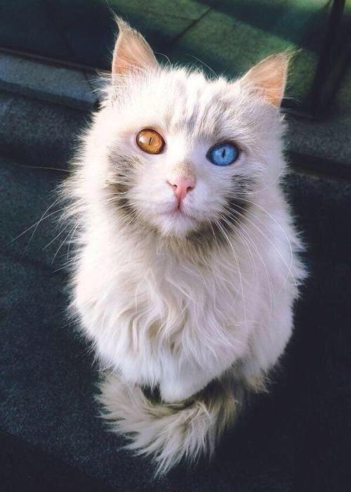 c gato