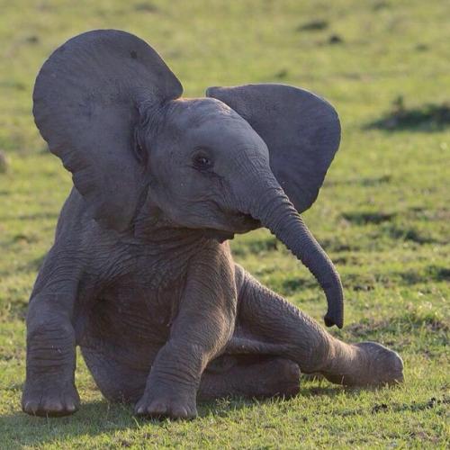 elefan