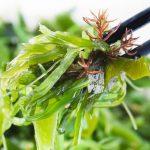 Alga Kombu y sus propiedades como superalimento